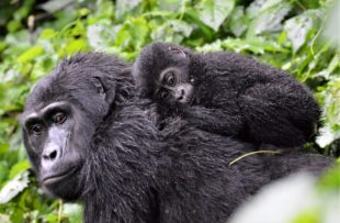 A baby mountain gorilla in Bwindi Impenetrable Forest, Uganda, clings to its mother amid the dense vegetation. It is one of only 1,000 of the endangered apes left in the world
