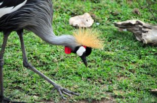 Grey Crowned Crane - checking the ground for insects - Balearica regulorum gibbericeps - known for their crown of golden feathers and part of Uganda's coat of arms (Central Region, Uganda)