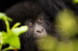 Detailed image of a baby mountain gorilla smiling