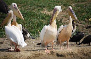 pink-pelican-1536362_1280 PIXABAY FREE (website)