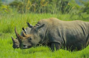 rhino-2878222_960_720 pIXABAY FREE